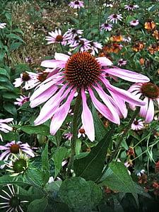 Echinacea, Herb, ravimite, ravimtaimede, taim, lill, taimne ravim