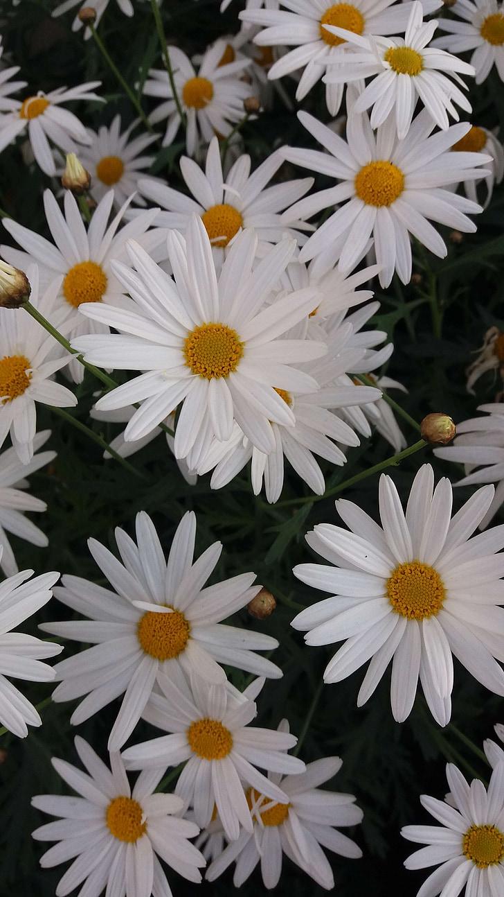 chrysanthemum, four seasons, small daisy, daisy, nature, flower, plant