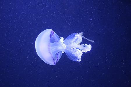 ubur-ubur, Medusa, cnidarian, hewan, perairan hewan, air, laut