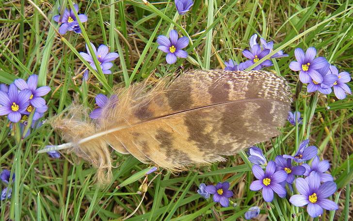 geçiş yumuşatma, baykuş tüy, Büyük Boynuzlu Baykuş tüy, Blue - eyed çimen, kuş, çiçekler, doğa