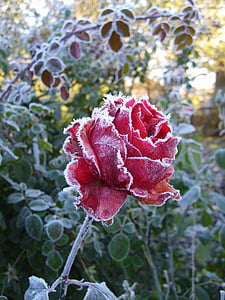 roses, flower, leann, pink, winter, cold, frost