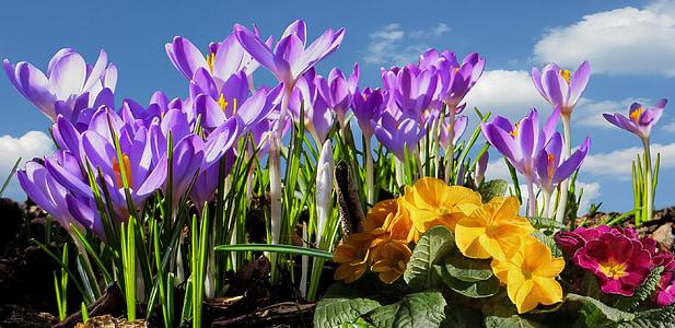 spring, frühlingsanfang, spring awakening, crocus, close, spring flowers, blossom