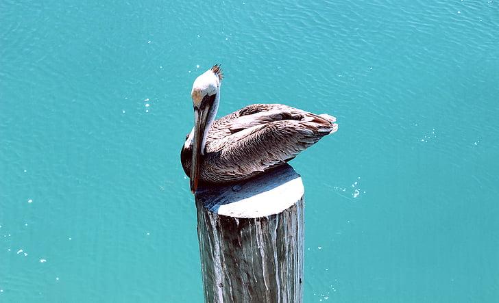 Пеликан, птица, природата, вода, море, естествени, океан
