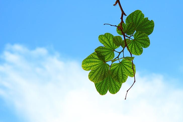 lapai, šakelė, filialas, dangus, mėlyna, Debesis, žalia