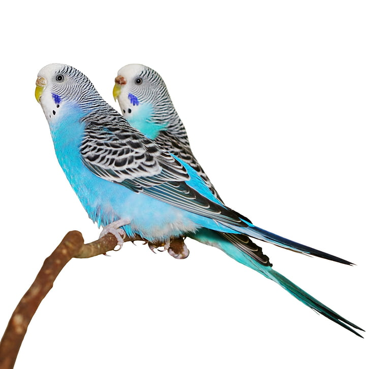 sinine, parakeets, Stick, valgel taustal