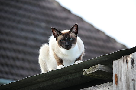 cat, siamese cat, sheet metal roof, breed cat
