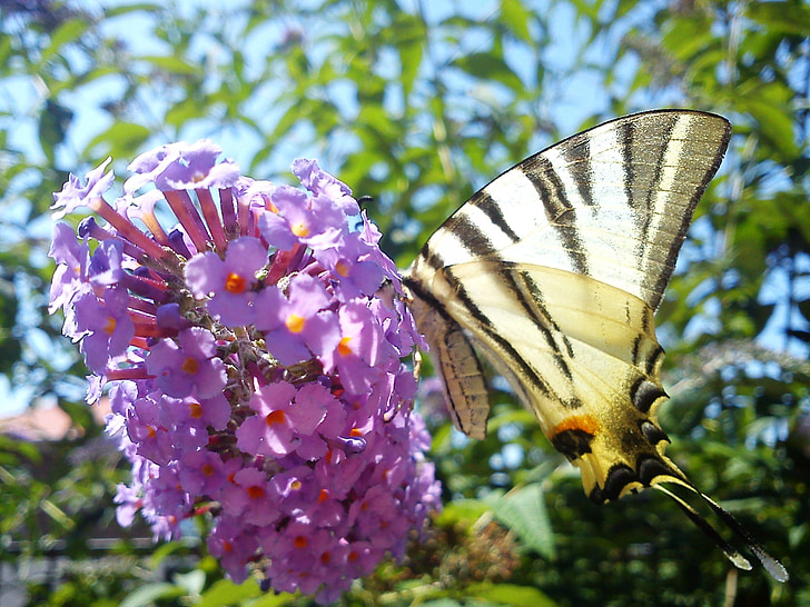 Budleia davidii, flor, papallona, lila pit