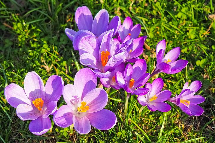 Zdarma fotografie: Šafrán, květ, jaro, Jarní květina, květ, Bloom, fialová  | Hippopx