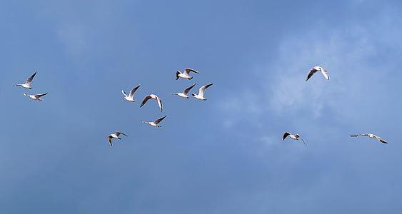 gaviotas, enjambre, cielo, azul, volar, aves, forrajeo