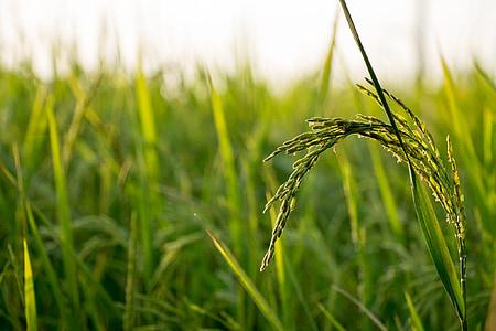 ρύζι, το πεδίο, αγρόκτημα, φύση, φυτό, Ασία, Γεωργία