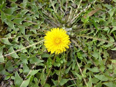 rumeni cvet, Regrat, spomladi cvet, narave, plevela, pomlad, sonce