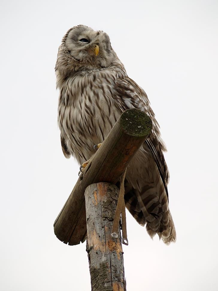 bagoly, ragadozó, madár