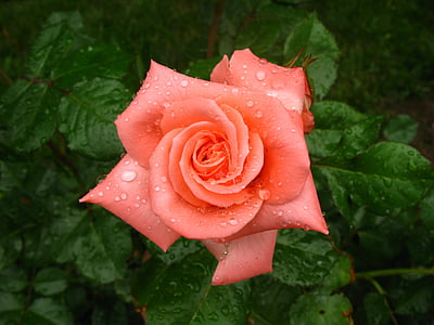 rose, wet, dew, blossom, beautiful, bloom, flower