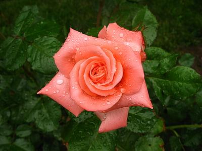 Rosa, mullat, rosada, flor, bonica, flor, flor
