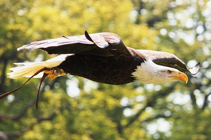 Adler, valkoinen pyrstö eagle, sulka, lentää, lento, lintu, kalju kotka