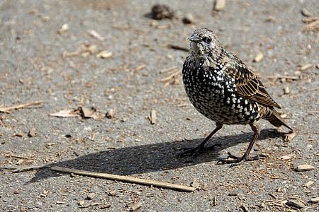 птица, звезда, животните, Songbird, природата, перушина, малки птици