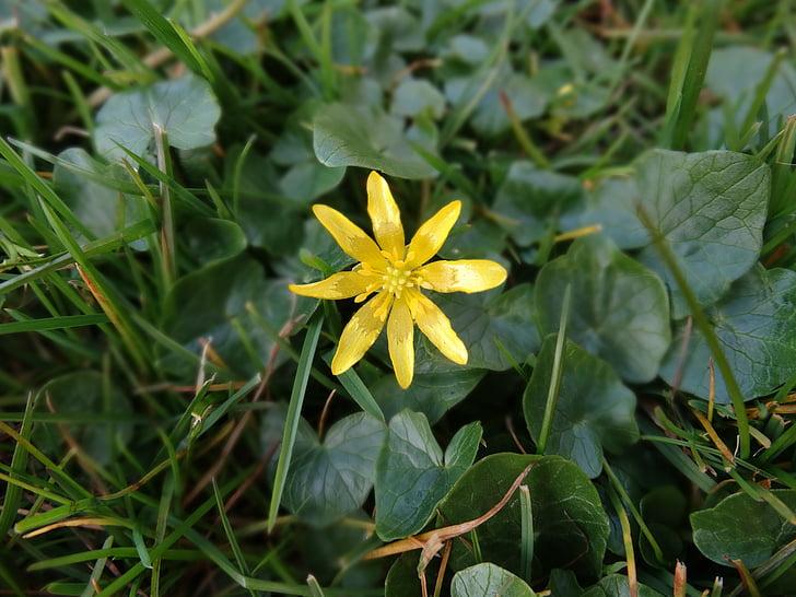 natuur, bloem, Bloom, lente, Wild flower, wilde bloemen, gele ster te behalen