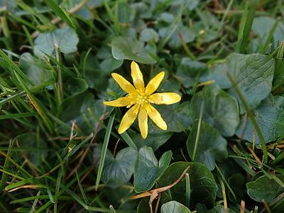 nature, flower, bloom, spring, wild flower, wild flowers, yellow star