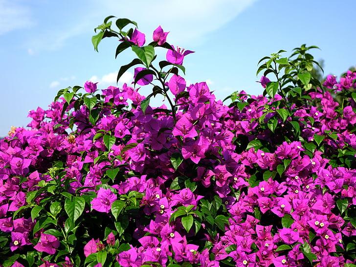 бугенвиллия glabra, цветок, Малый бугенвилии, бумажный цветок, розовый, листья, завод