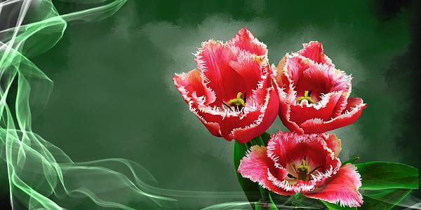 Tulipa, flor, planta, flor, flor, primavera, flora