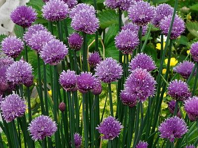 cebollino, floración, púrpura, naturaleza, planta, flor, verano