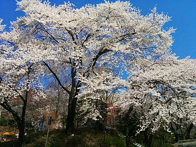 Sakura, flor del cirerer, flors, flor