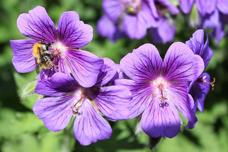 фіолетовий, Грін, Природа, квіти, сад, зелене листя, лист