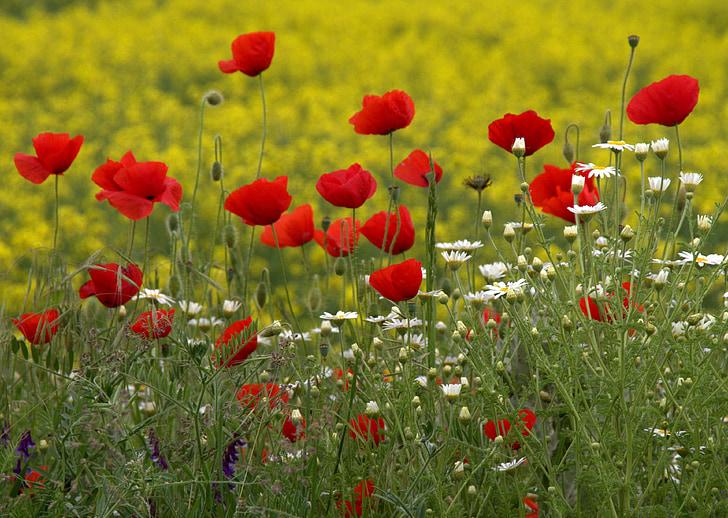 poppies, camp, red, flowers, wild, flower