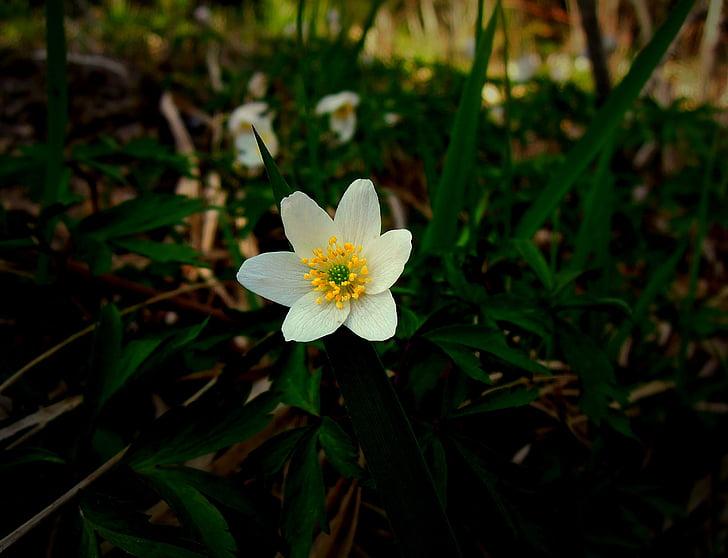anemone lesa, pomlad, spomladi cvet, cvet, znaka pomladi, spomladanske cvetlice, beli cvet