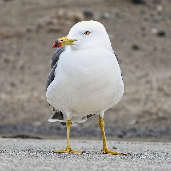 zvíře, pláž, promenáda, Sea gull, Racek, Mořský pták, divoké zvíře