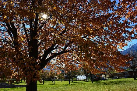 fall foliage, tree, sun, meadow, golden autumn, autumn, autumn landscape