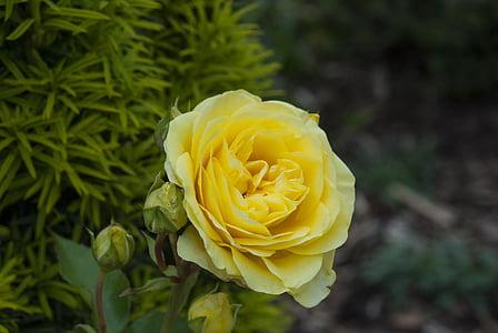 Rosa, flor, flor, flor, natura, flor rosa, flors roses