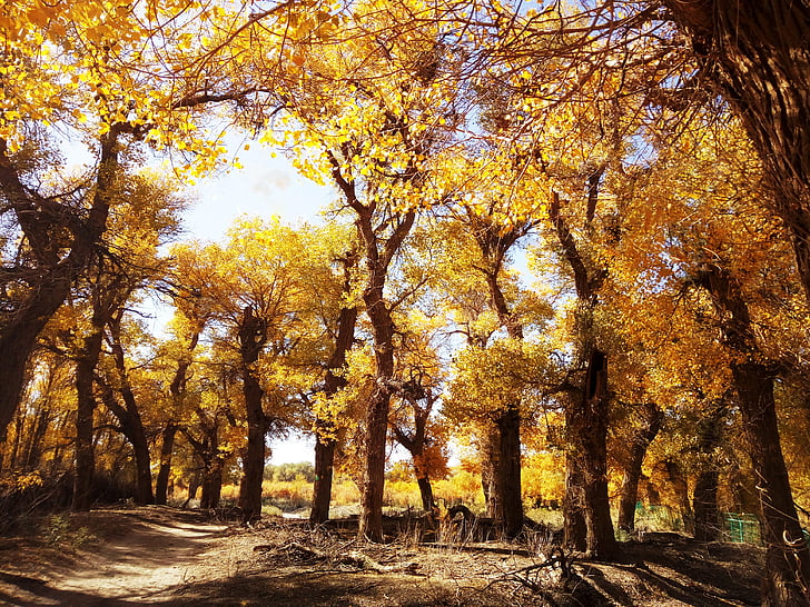 populus euphratica forest, afternoon, autumn