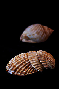 havet, snäckor, musslor, molluscum, conch, Shell, naturen