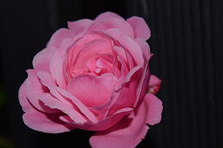 上升, 粉色, 关闭, 开花, 绽放, 花, 玫瑰绽放