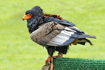 bird of prey, bateleur eagle, eagle, bird, zoo, beak