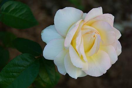 tõusis, lill, loodus, lilled, roosid, Aed, suve lilled