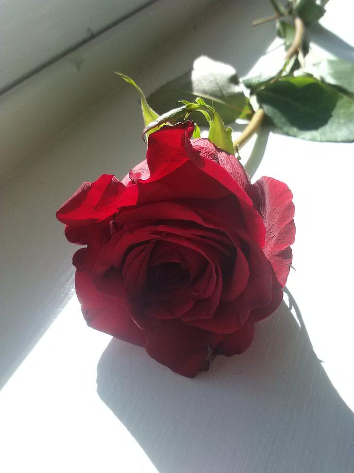 red, rose, romance