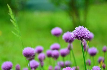 cebollino, flores de cebollino, jardín de hierbas, púrpura, hierbas, hierbas culinarias, naturaleza
