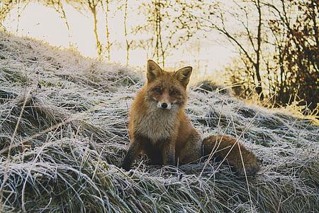 Tier, Wald, Fuchs, Natur, Tierwelt, Säugetier, Tiere in freier Wildbahn