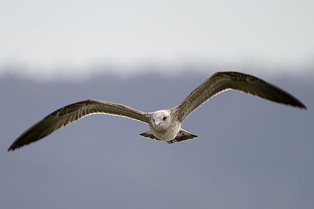 seagull, flight, bird, one animal, animal wildlife, animals in the wild, flying