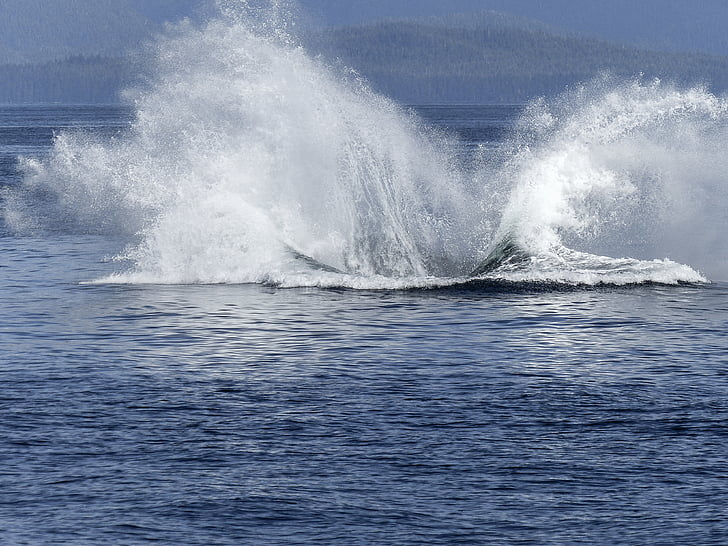驼背鲸, 自然奇观, 自然, 哺乳动物, 动物, 野生动物, 跳跃