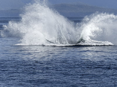 humpback whale, natural spectacle, nature, mammal, animal, wildlife, jumping