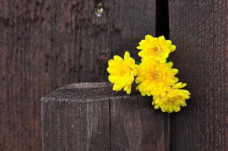 krüsanteemid, lilled, kollane, puit, tara, Makro, taust