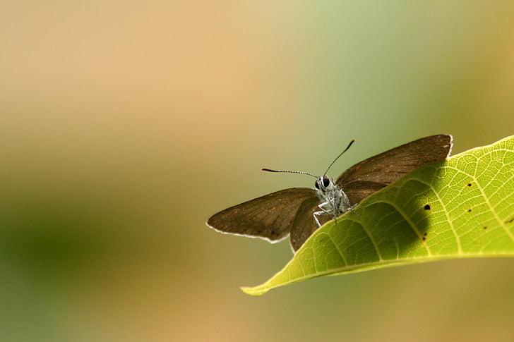 tauriņš, dzīvnieki, tauriņa spārni, daba, daudzveidība, Pavasaris, bugs