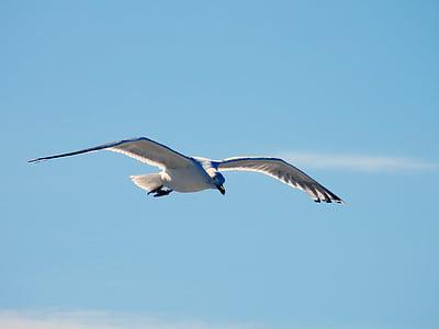 นกนางนวล, นางนวล, บิน, เหิน, แล่นเรือ, สง่างาม, นก