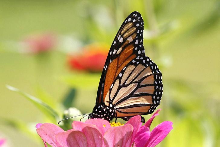 tauriņš, monarhs, makro, kukainis, daba, spārni, krāsains