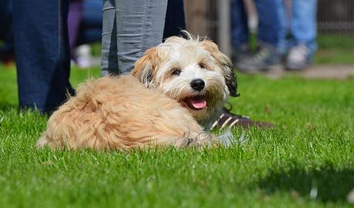 small, sweet, small dog, pet, wuschelig, knuffig, purebred dog