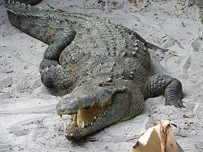 crocodile, alligator, wild, reptile, predator, wildlife, animal