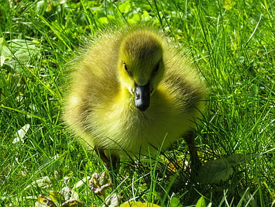 animals, chicks, goose, young goose, goslings, cute, grass